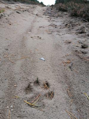 Neues Forschungsprojekt zur Rückkehr des Wolfs nach Deutschland